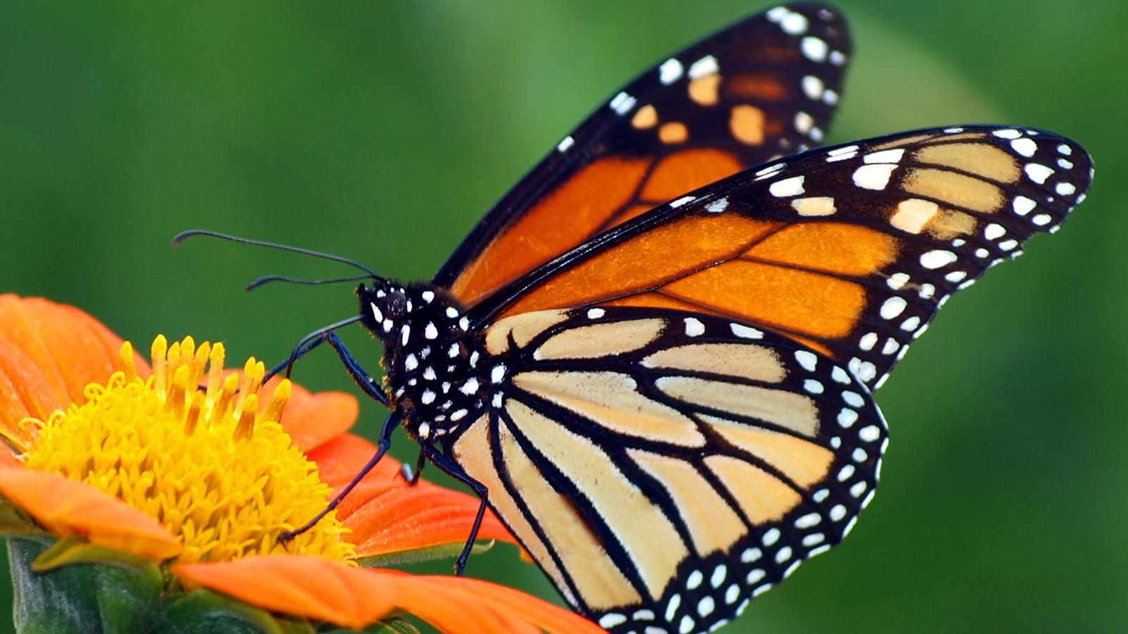 monarch-butterfly-orange-flower.jpg